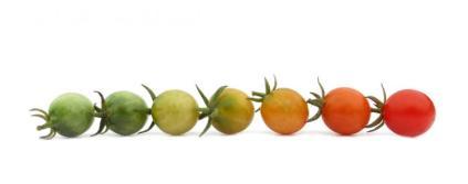 tomato_ripening_cherries_big.121132938_std